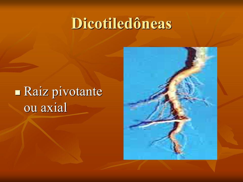 Dicotiledôneas Raiz pivotante ou axial