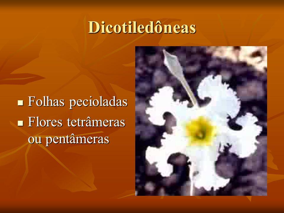 Dicotiledôneas Folhas pecioladas Flores tetrâmeras ou pentâmeras