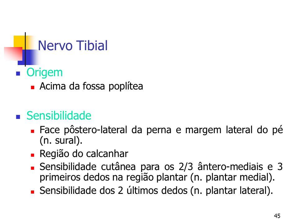 Nervo Tibial Origem Sensibilidade Acima da fossa poplítea