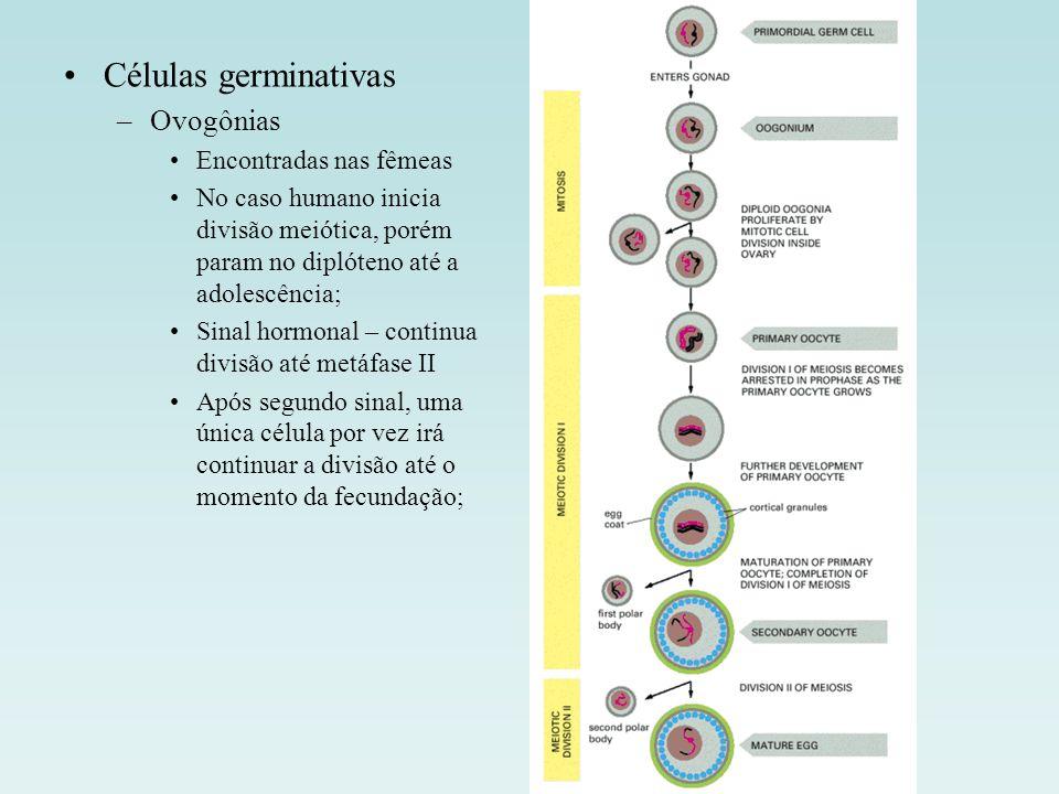 Células germinativas Ovogônias Encontradas nas fêmeas