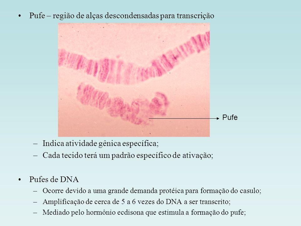 Pufe – região de alças descondensadas para transcrição
