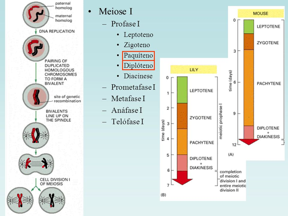 Meiose I Profase I Prometafase I Metafase I Anáfase I Telófase I