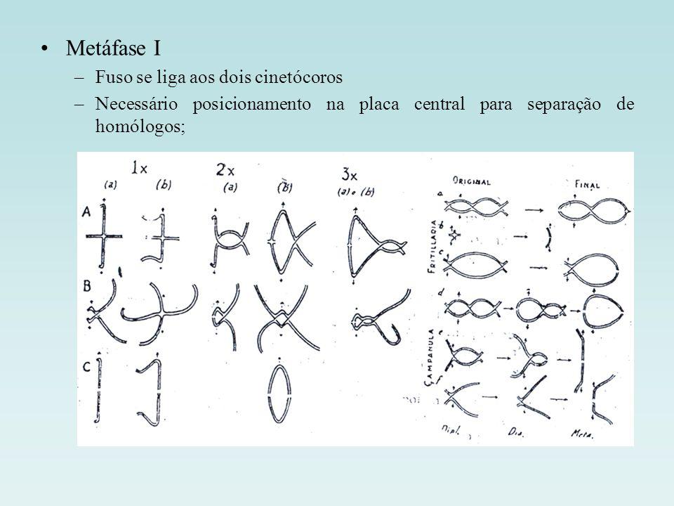 Metáfase I Fuso se liga aos dois cinetócoros