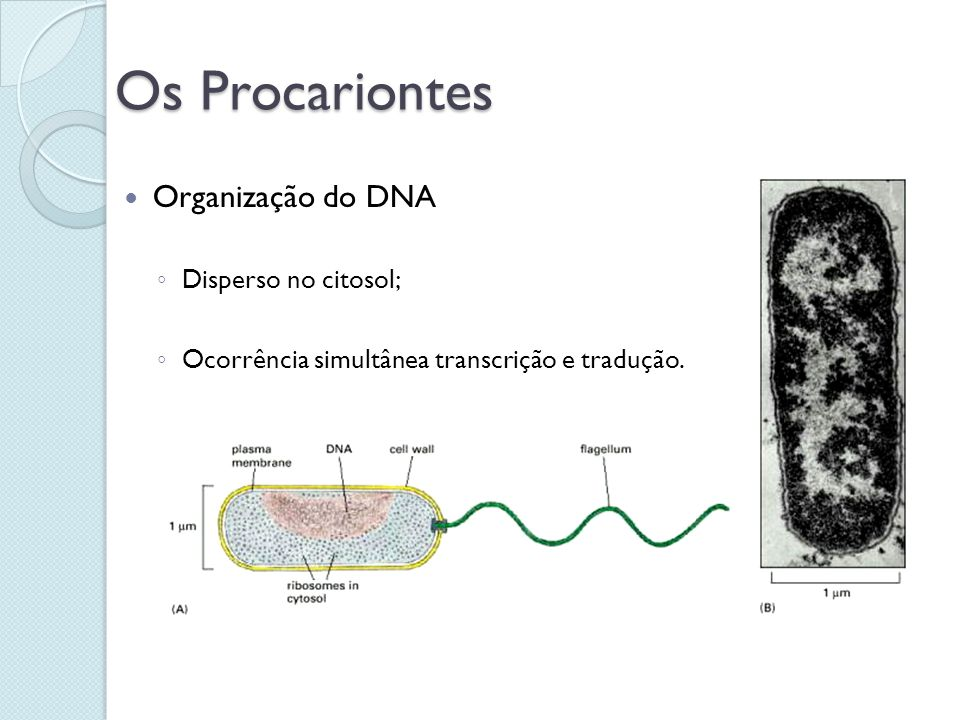 Os Procariontes Organização do DNA Disperso no citosol;