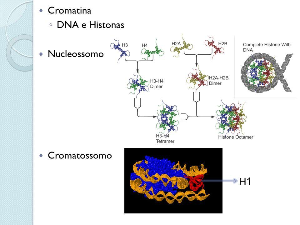 Cromatina DNA e Histonas Nucleossomo Cromatossomo H1