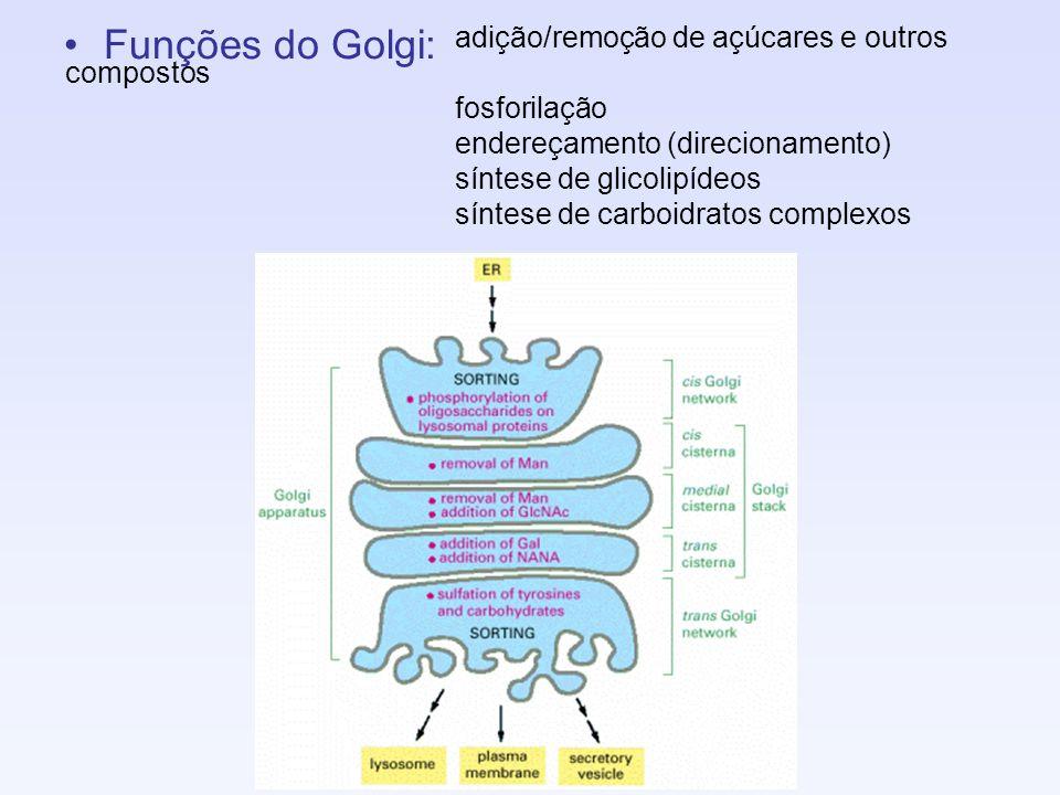 Funções do Golgi: adição/remoção de açúcares e outros compostos