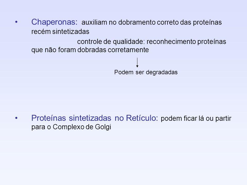 Chaperonas: auxiliam no dobramento correto das proteínas recém sintetizadas