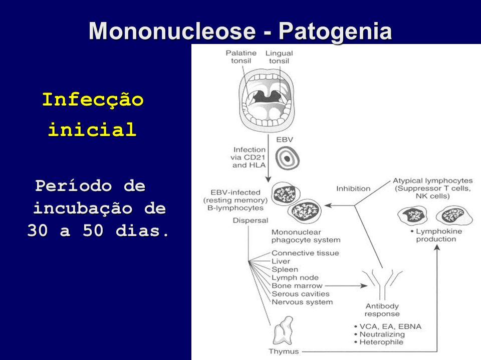 Mononucleose - Patogenia Período de incubação de 30 a 50 dias.