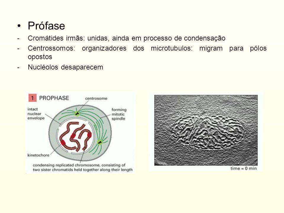 Prófase Cromátides irmãs: unidas, ainda em processo de condensação