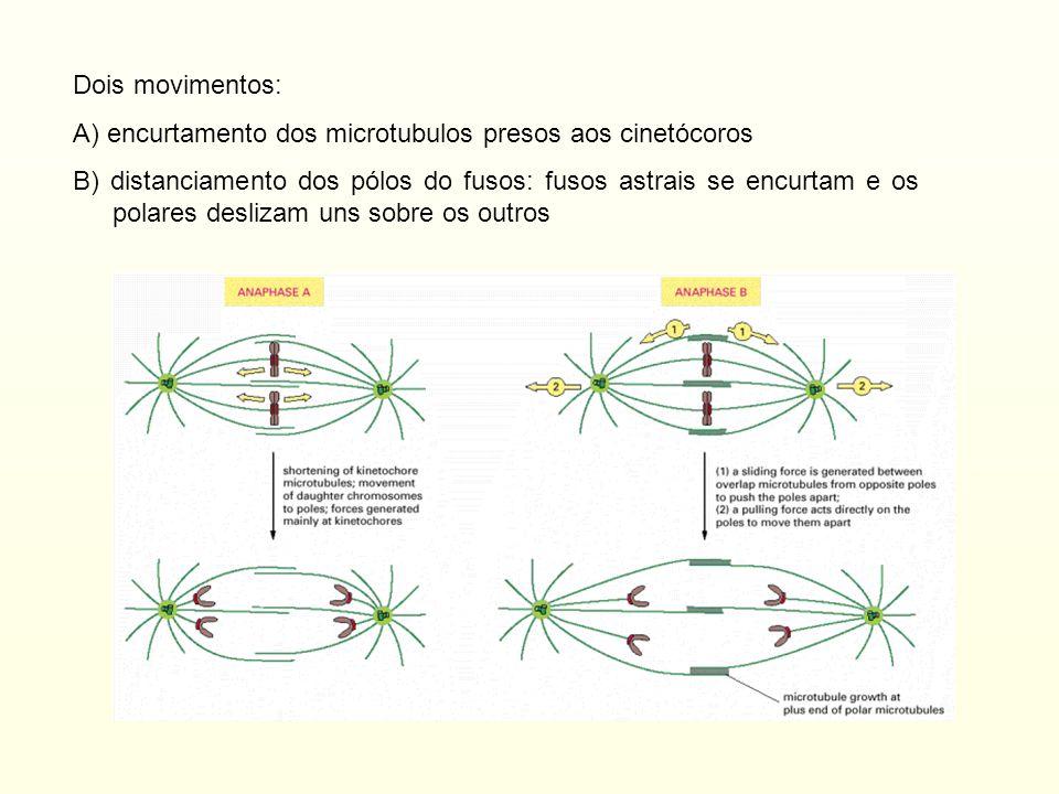 Dois movimentos: A) encurtamento dos microtubulos presos aos cinetócoros.