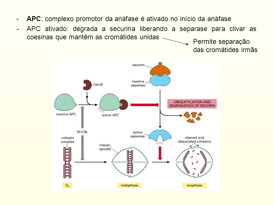 APC: complexo promotor da anáfase é ativado no início da anáfase