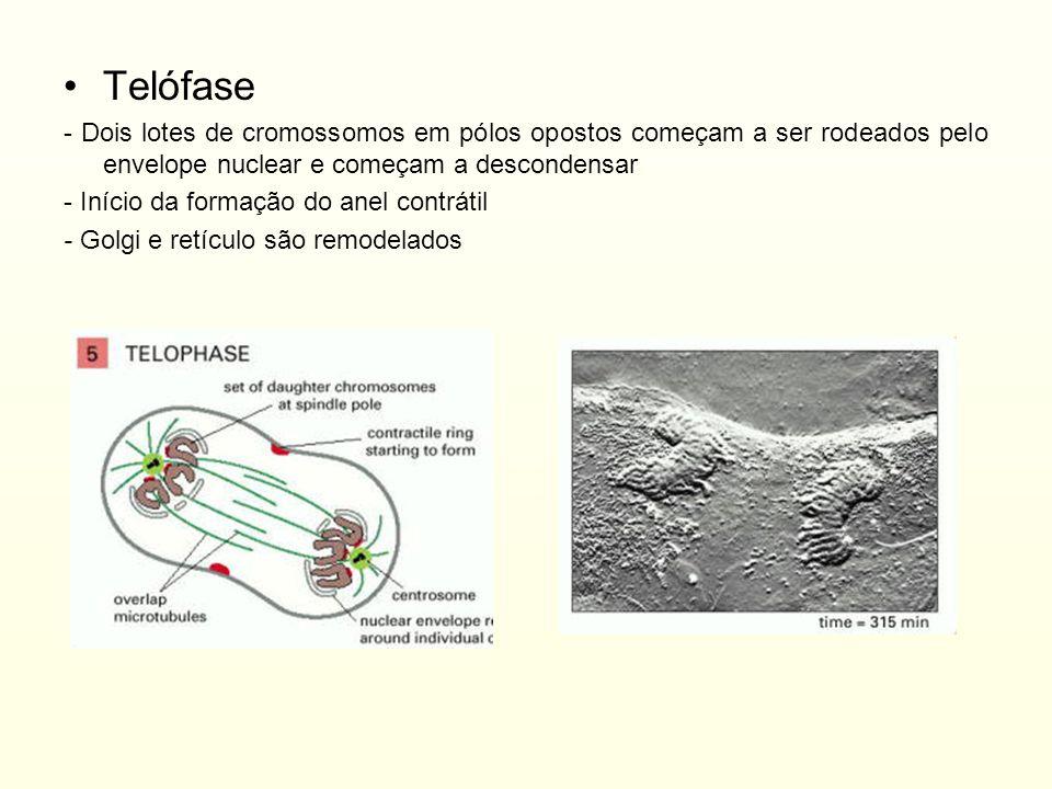 Telófase - Dois lotes de cromossomos em pólos opostos começam a ser rodeados pelo envelope nuclear e começam a descondensar.