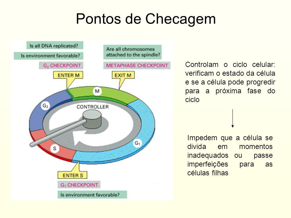 Pontos de Checagem Controlam o ciclo celular: verificam o estado da célula e se a célula pode progredir para a próxima fase do ciclo.