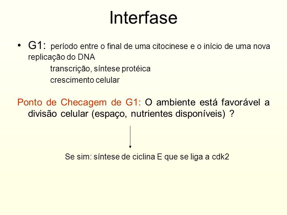 InterfaseG1: período entre o final de uma citocinese e o início de uma nova replicação do DNA. transcrição, síntese protéica.