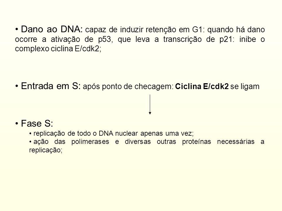 Entrada em S: após ponto de checagem: Ciclina E/cdk2 se ligam