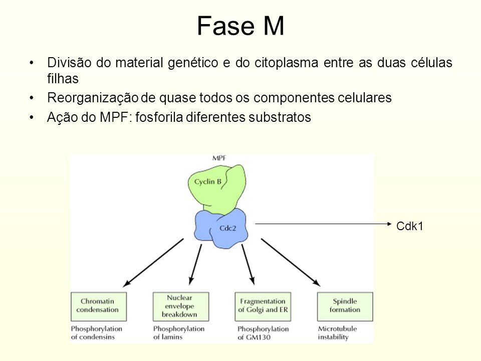 Fase M Divisão do material genético e do citoplasma entre as duas células filhas. Reorganização de quase todos os componentes celulares.