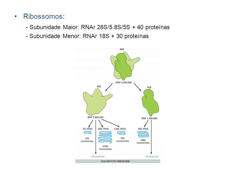 - Subunidade Maior: RNAr 28S/5.8S/5S + 40 proteínas