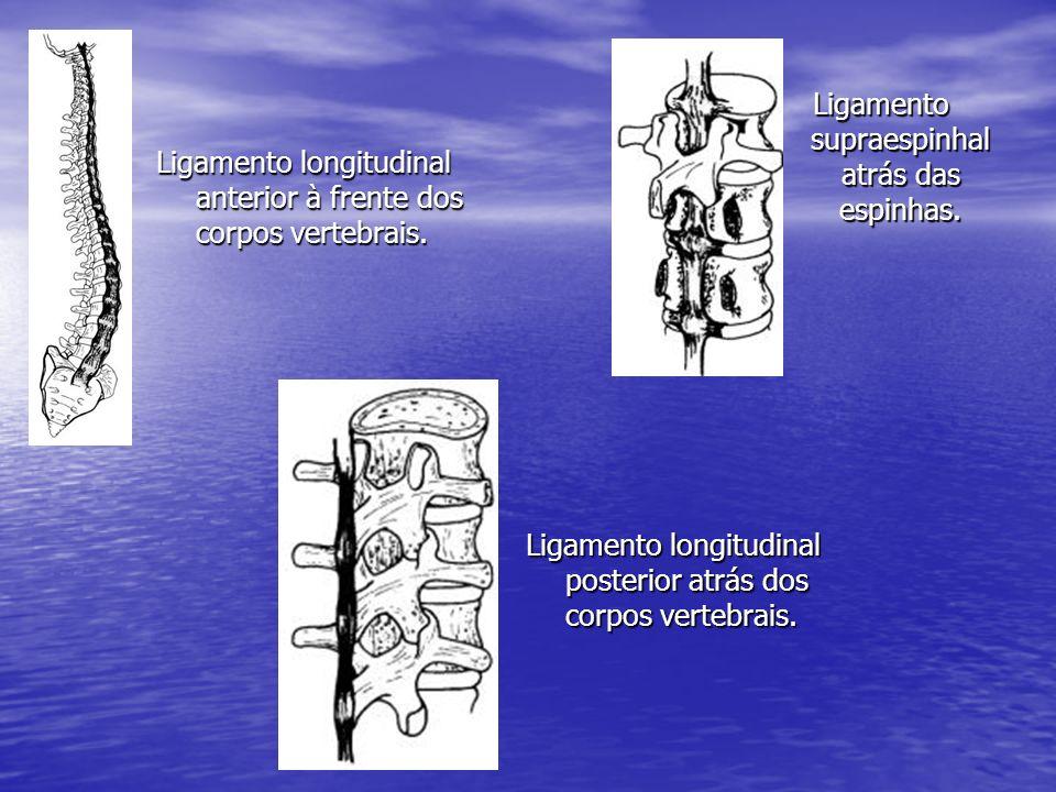 Ligamento supraespinhal atrás das espinhas.
