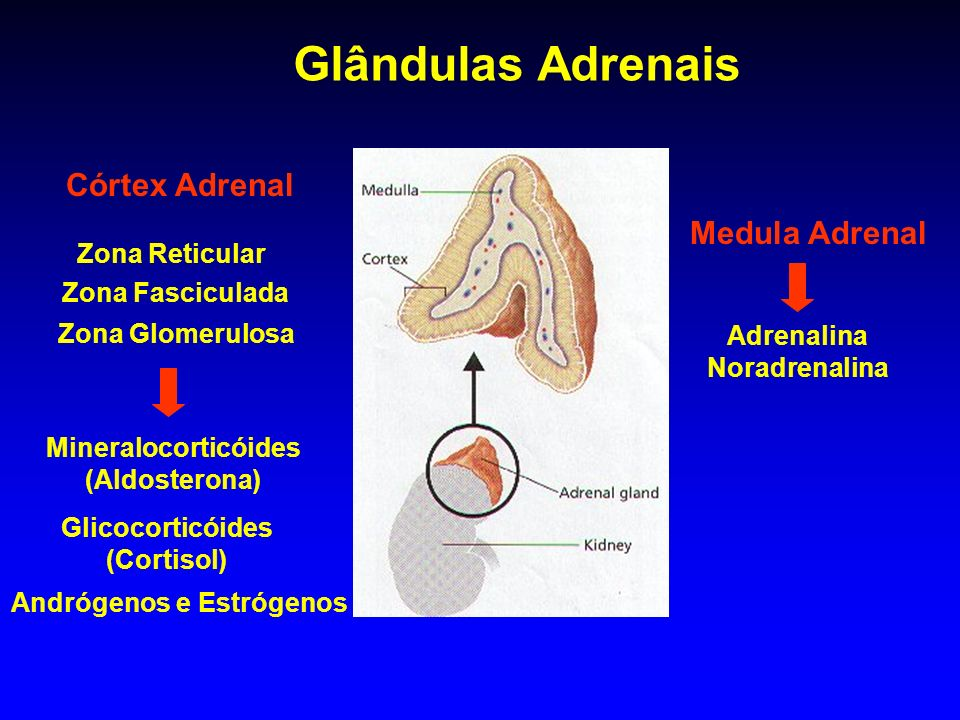 Glândulas Adrenais Córtex Adrenal Medula Adrenal Zona Reticular