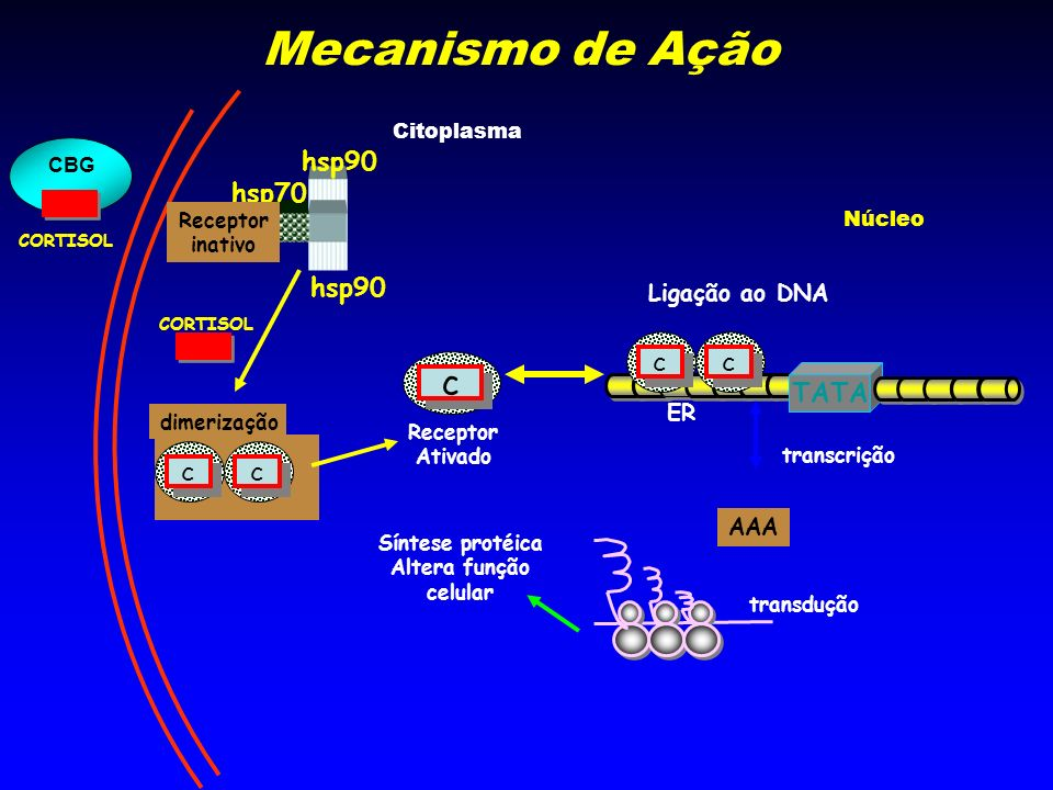 Mecanismo de Ação c hsp90 hsp70 hsp90 c TATA c Ligação ao DNA ER AAA