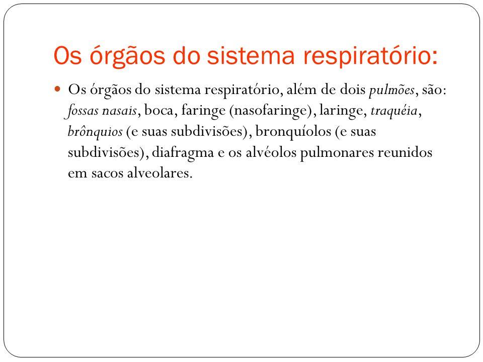 Os órgãos do sistema respiratório: