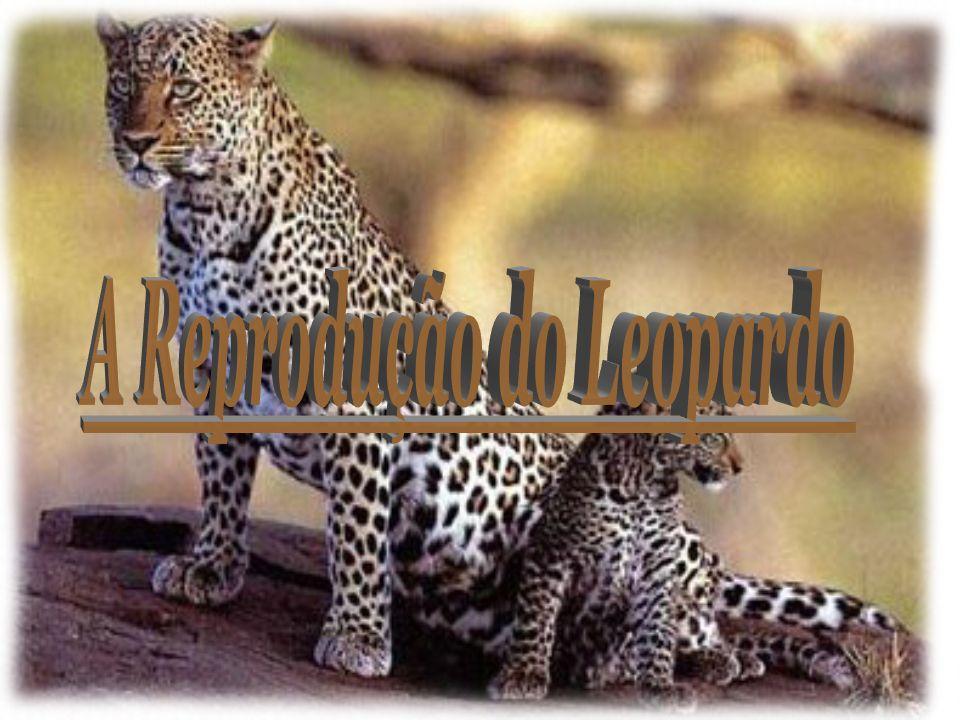 A Reprodução do Leopardo