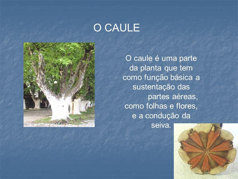 O CAULE O caule é uma parte da planta que tem como função básica a sustentação das partes aéreas, como folhas e flores, e a condução da seiva.