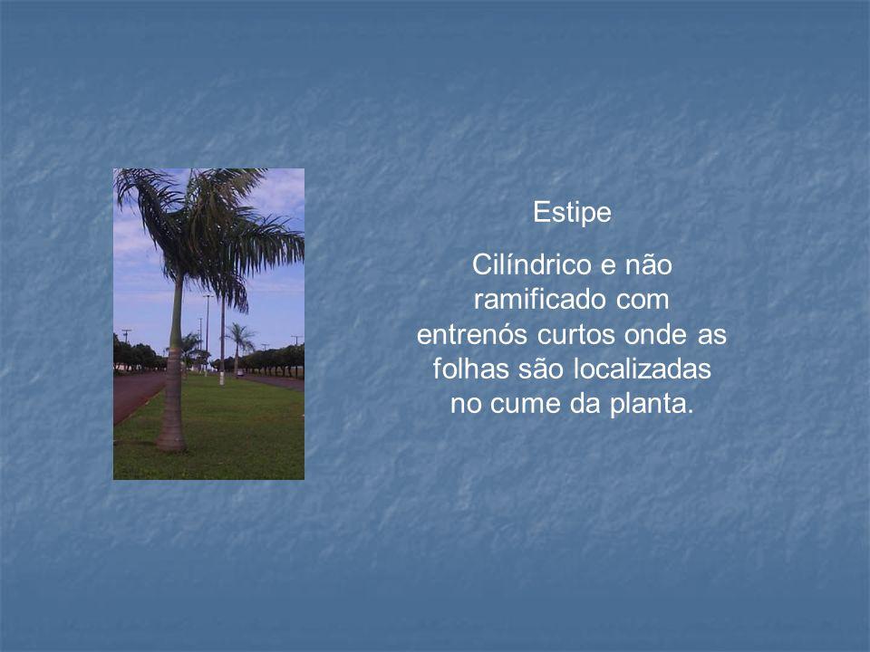 Estipe Cilíndrico e não ramificado com entrenós curtos onde as folhas são localizadas no cume da planta.