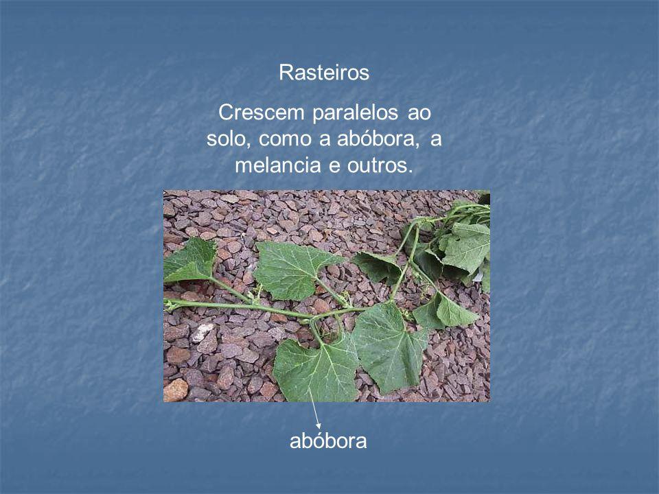 Crescem paralelos ao solo, como a abóbora, a melancia e outros.