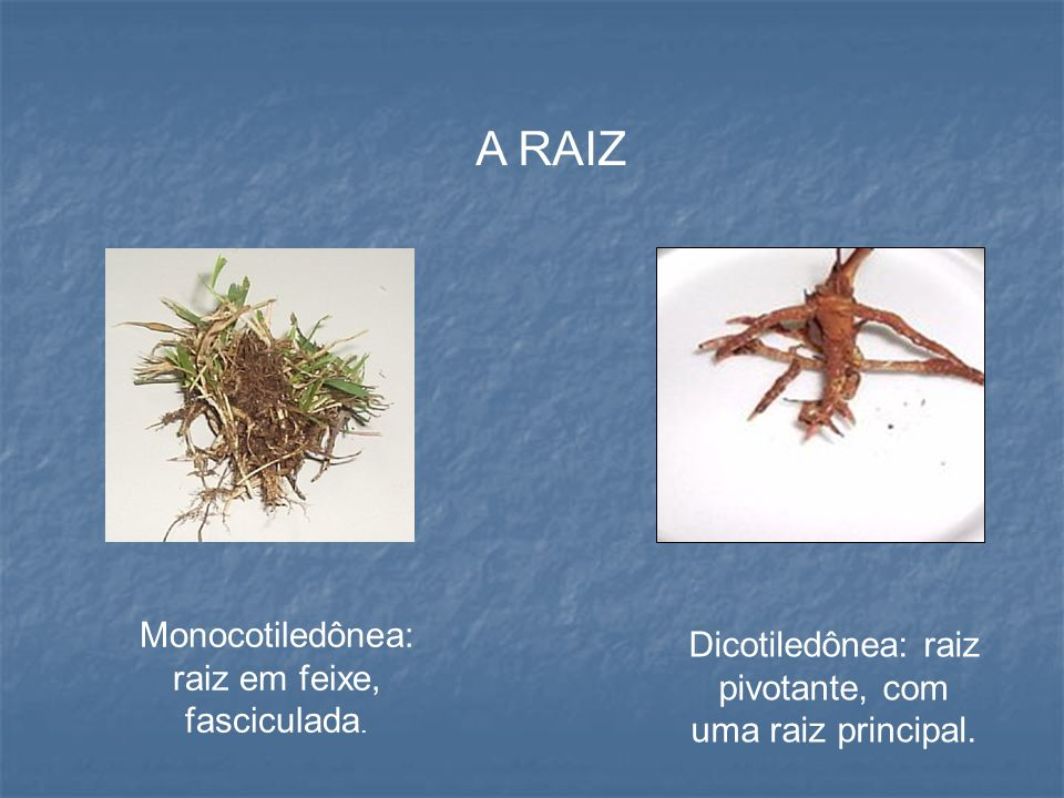 A RAIZ Monocotiledônea: raiz em feixe, fasciculada.