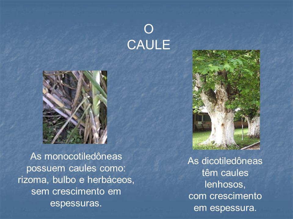 O CAULE As monocotiledôneas possuem caules como: rizoma, bulbo e herbáceos, sem crescimento em espessuras.