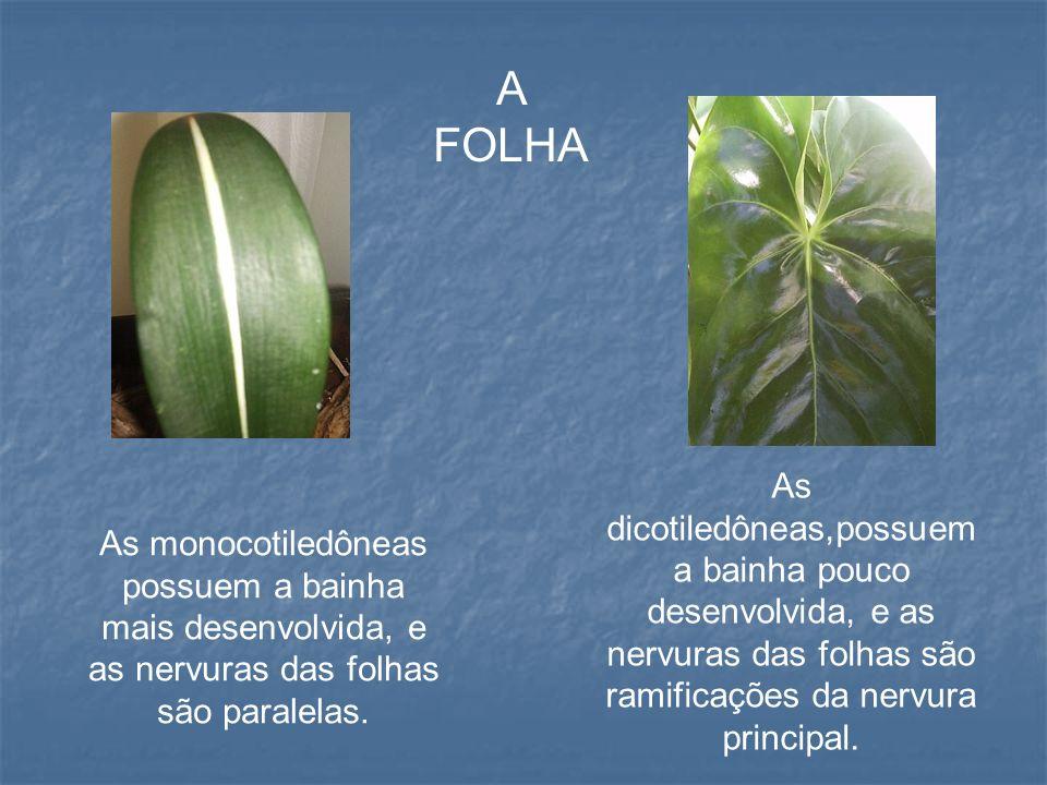 A FOLHA As dicotiledôneas,possuem a bainha pouco desenvolvida, e as nervuras das folhas são ramificações da nervura principal.