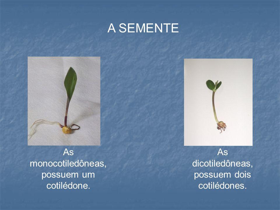A SEMENTE As monocotiledôneas, possuem um cotilédone.