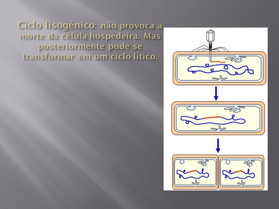 Ciclo lisogênico: não provoca a morte da célula hospedeira