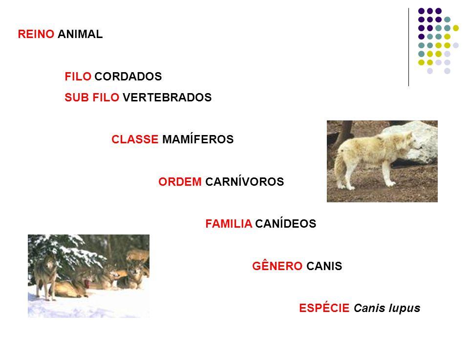 REINO ANIMAL FILO CORDADOS. SUB FILO VERTEBRADOS. CLASSE MAMÍFEROS. ORDEM CARNÍVOROS. FAMILIA CANÍDEOS.