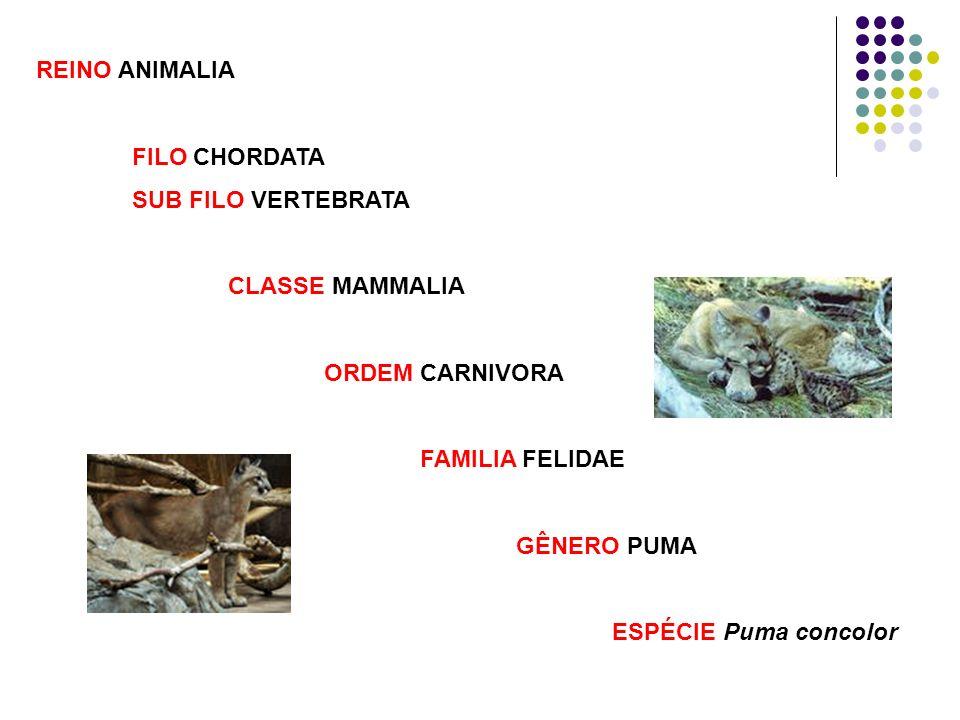 REINO ANIMALIA FILO CHORDATA. SUB FILO VERTEBRATA. CLASSE MAMMALIA. ORDEM CARNIVORA. FAMILIA FELIDAE.