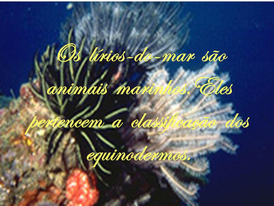 Os lírios-do-mar são animais marinhos