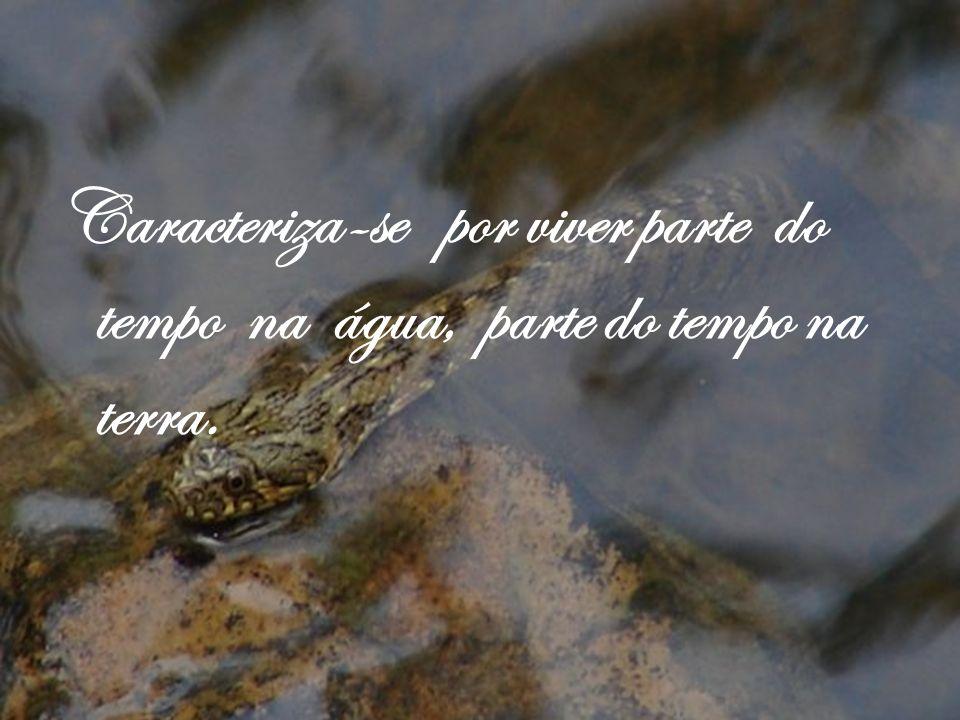 Caracteriza-se por viver parte do tempo na água, parte do tempo na terra.