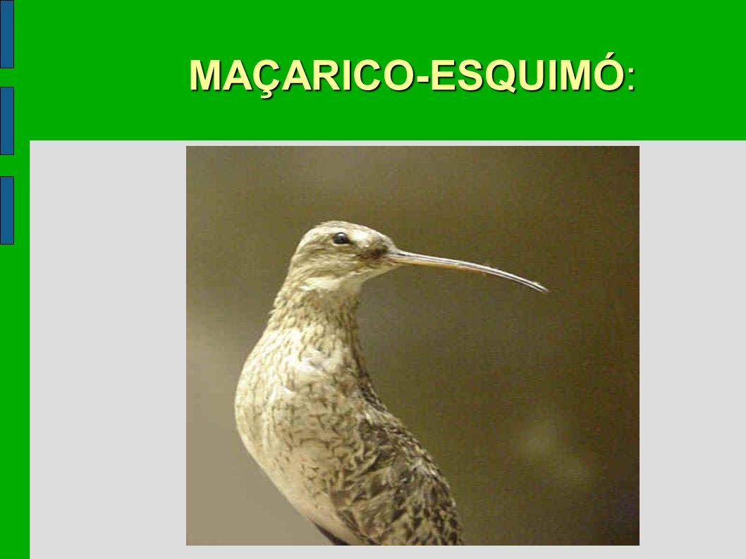 MAÇARICO-ESQUIMÓ: