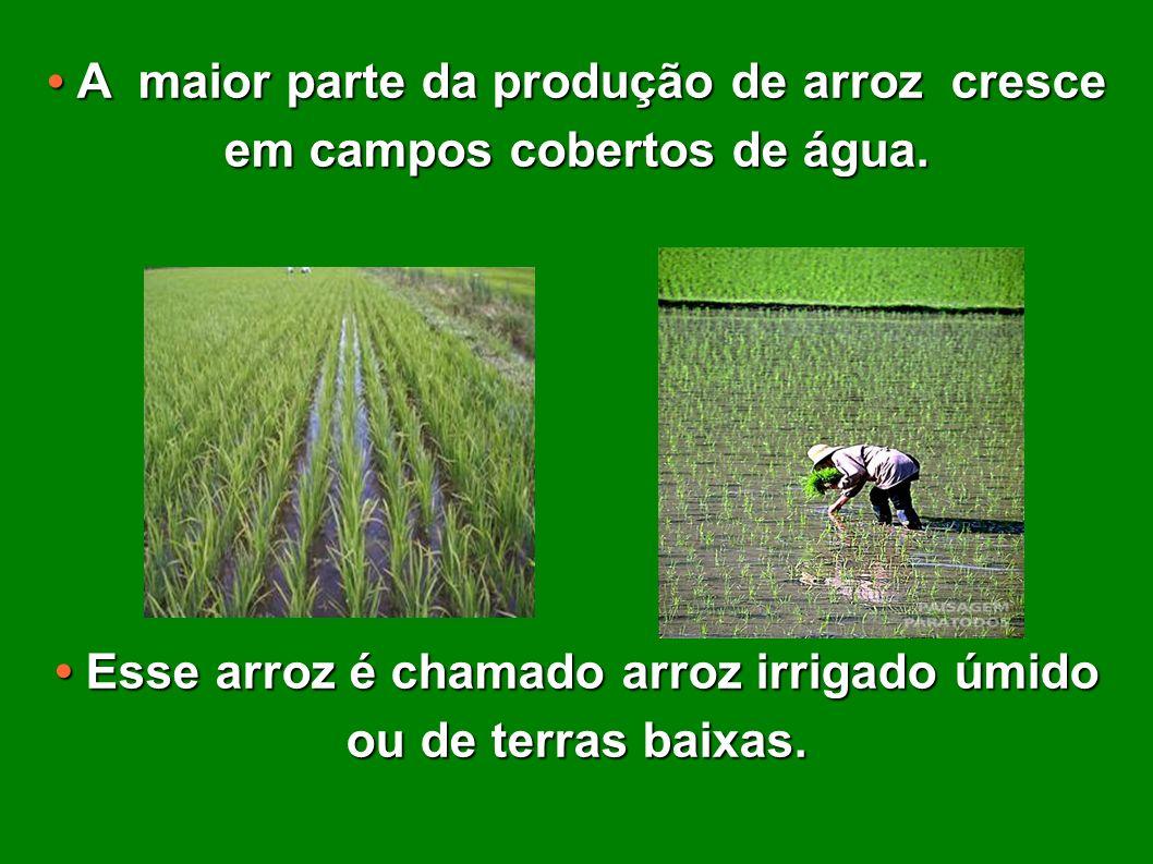 • Esse arroz é chamado arroz irrigado úmido ou de terras baixas.