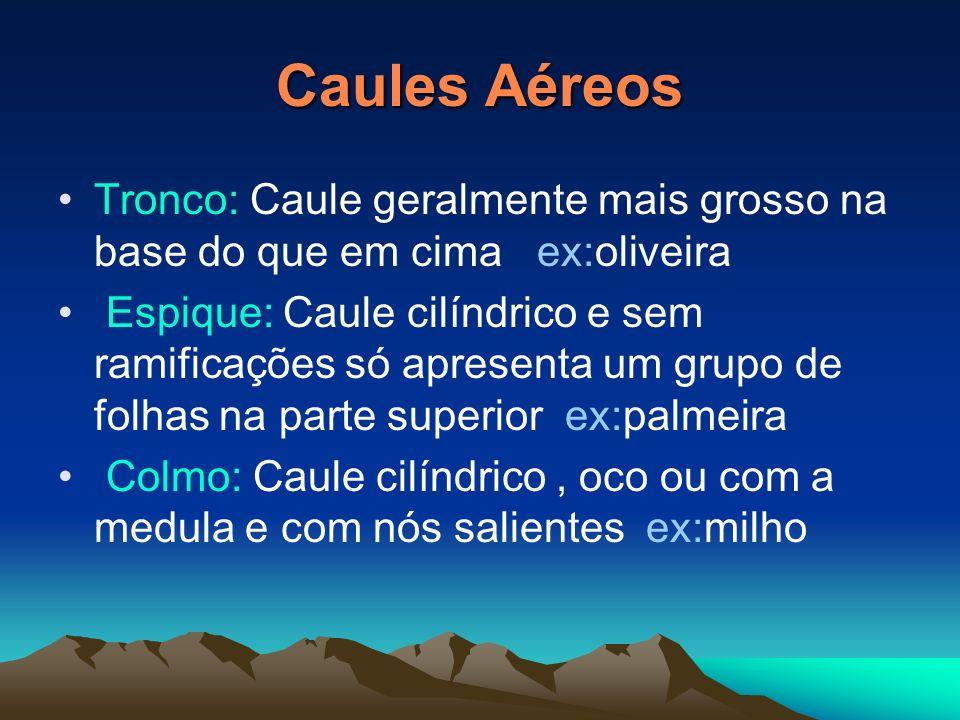 Caules AéreosTronco: Caule geralmente mais grosso na base do que em cima ex:oliveira.