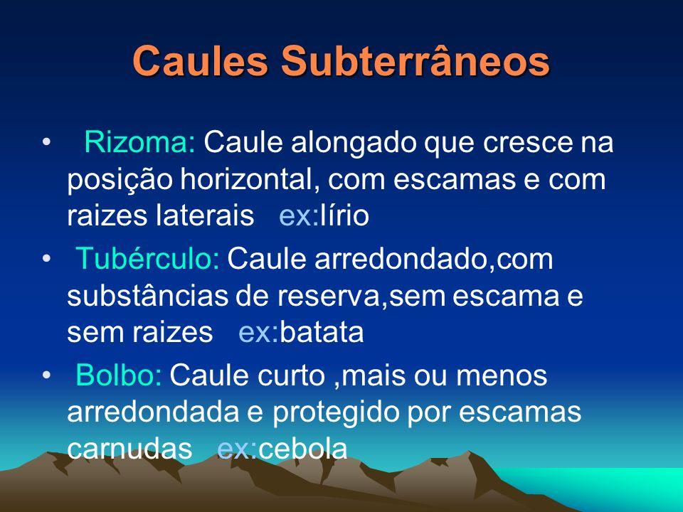 Caules SubterrâneosRizoma: Caule alongado que cresce na posição horizontal, com escamas e com raizes laterais ex:lírio.