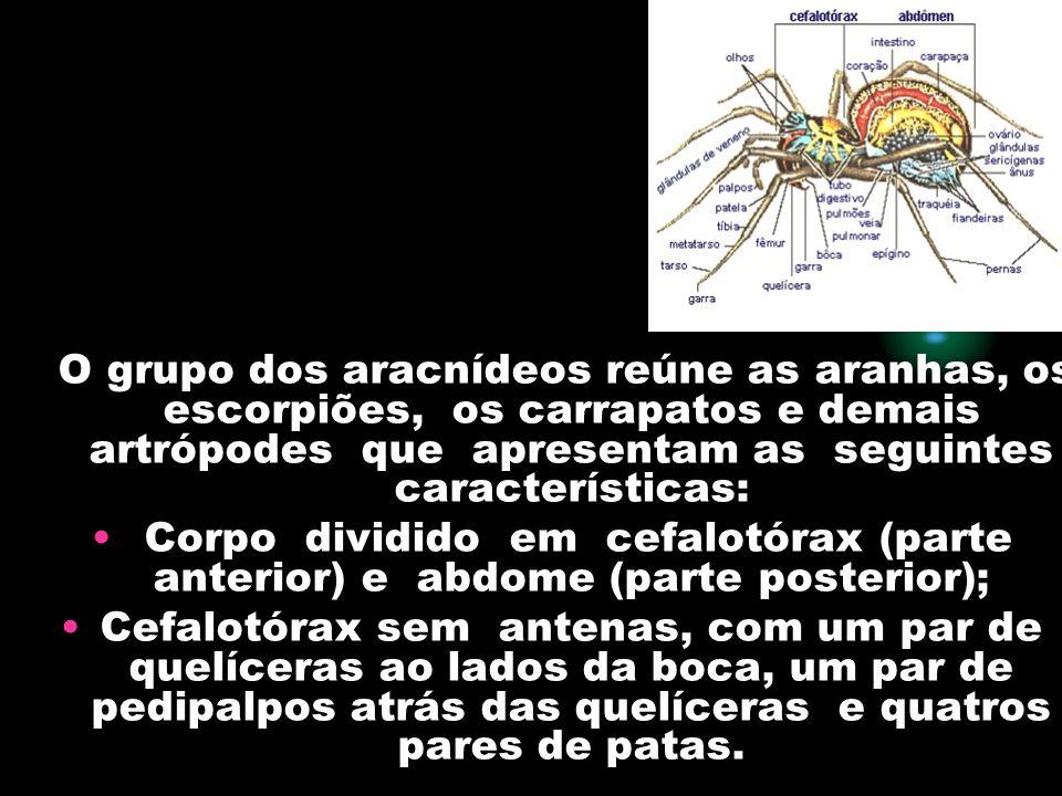 O grupo dos aracnídeos reúne as aranhas, os escorpiões, os carrapatos e demais artrópodes que apresentam as seguintes características: