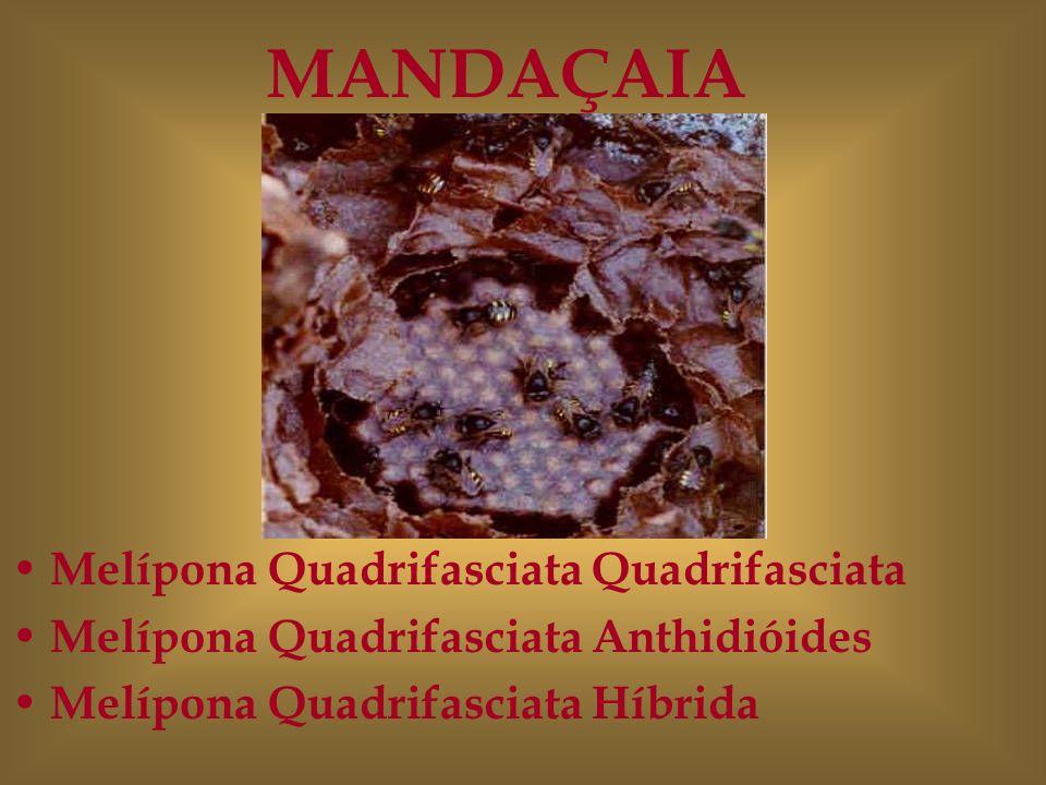 MANDAÇAIA Melípona Quadrifasciata Quadrifasciata