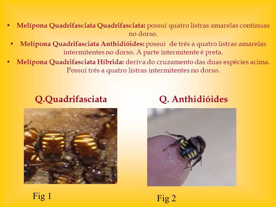 Q.Quadrifasciata Q. Anthidióides Fig 1 Fig 2