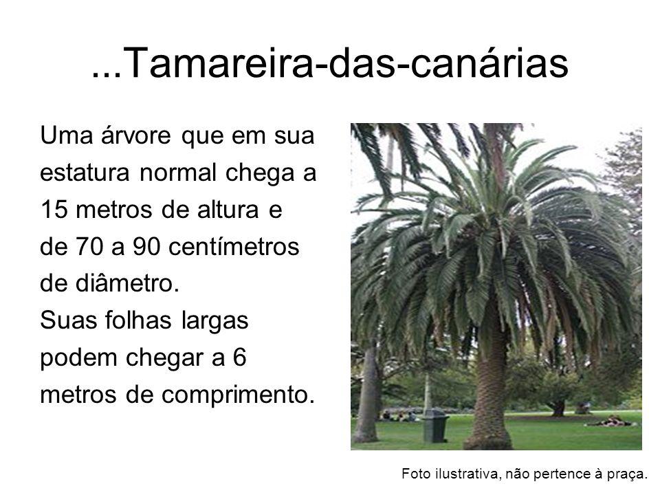 ...Tamareira-das-canárias