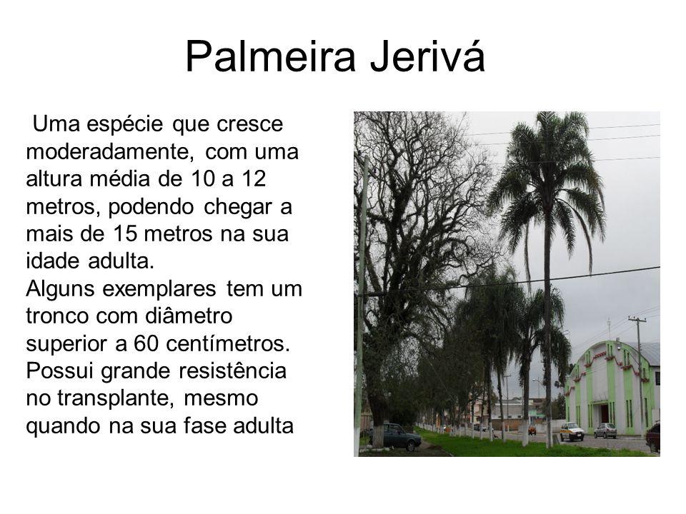 Palmeira Jerivá Uma espécie que cresce moderadamente, com uma