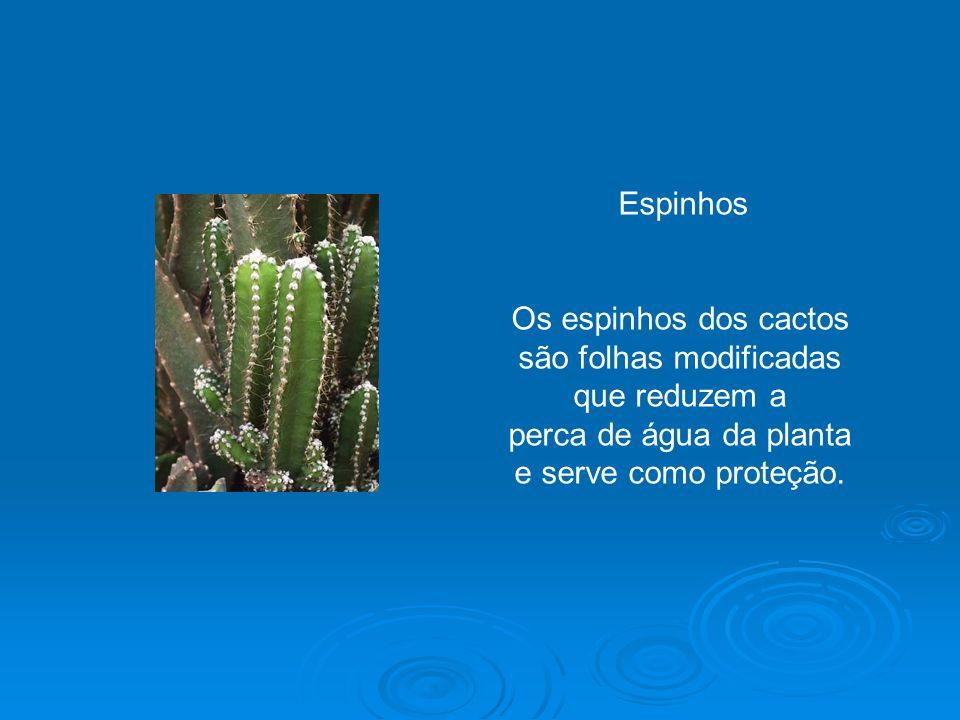 Os espinhos dos cactos são folhas modificadas que reduzem a