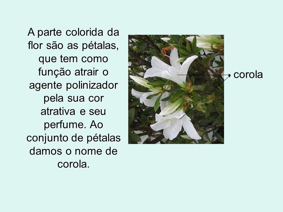 A parte colorida da flor são as pétalas, que tem como função atrair o agente polinizador pela sua cor atrativa e seu perfume. Ao conjunto de pétalas damos o nome de corola.