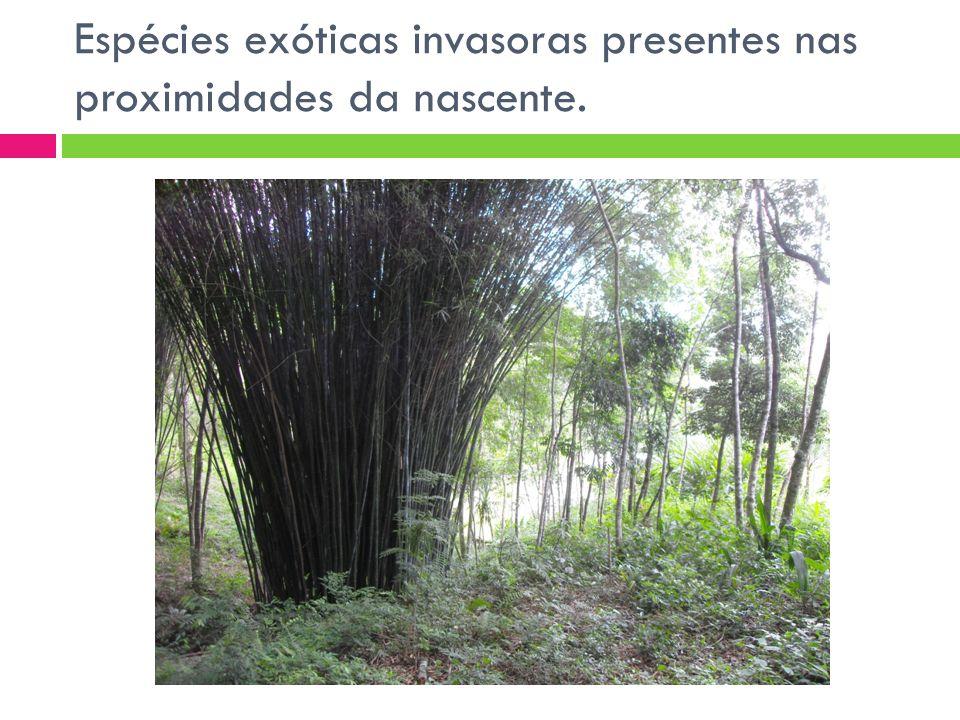 Espécies exóticas invasoras presentes nas proximidades da nascente.